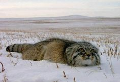 Manul (big cat) in Moscow.