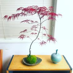 Bonsai Art, Bonsai Plants, Bonsai Garden, Red Maple Bonsai, Ming Tree, Fuerza Natural, Plants In Bottles, Small Japanese Garden, Mini Bonsai