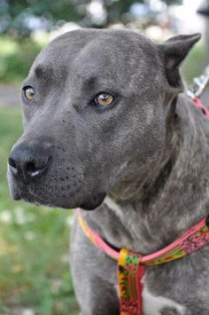 This is Powder. She's one of the prettiest girls I've EVER seen. This pitbull is at a no-kill shelter in Memphis looking for her forever home. She loves to give lots of hugs and kisses. She is one of the sweetest dogs you'll ever meet! Adopt her!