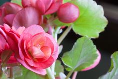 Begonia Flowers. meanings