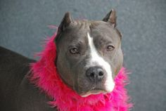 TO BE DESTROYED - 05/12/14 Brooklyn Center   BONNIE - A0998345  FEMALE, BLUE / WHITE, STAFFORDSHIRE MIX, 7 yrs OWNER SUR - EVALUATE, NO HOLD Reason PERS PROB  Intake condition NONE Intake Date 05/01/2014, From NY 10472, DueOut Date 05/01/2014, https://www.facebook.com/photo.php?fbid=796796283666586&set=a.617941078218775.1073741869.152876678058553&type=3&theater