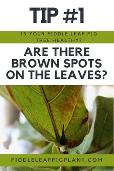 There are a few common ailments of fiddle leaf figs trees. Here are six ways to tell if your fiddle leaf fig tree is healthy and what to do if it's not. Fig Leaf Tree, Fig Leaves, Plant Leaves, Ficus Tree Indoor, Plants Indoor, Indoor Garden, Air Plants, Fiddle Leaf Fig Tree, House Plant Care
