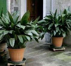 """Aspidistra - the """"cast-iron plant"""". We have one in our apartment that has survived for YEARS (from our previous landlords) - it occasionally flowers too!"""