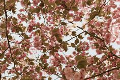 Underneath a cherry blossom tree in Prospect Park, Brooklyn - the branches filled with lovely pink blossoms as they reach for the sky in this original modern floral photograph. . . . Cherry Blossoms Photography Print Wall Art Botanical Pink Spring Flower Tree Photo Feminine Decor Nature Floral Garden Modern