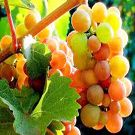 Pinot Gris Wine Grape Vine  Would love to learn to make my own wine