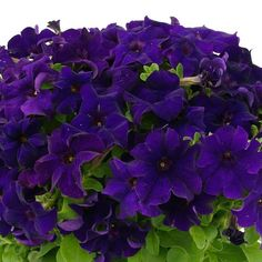 CAPRI BLUE Petunia Capri Blue petunias are disease resistant and extremely weather tolerant, at 25°F. or 105°F. plants will adapt and perform. And boy howdy is Capri Blue vigorous and branching. Flowers keep coming and coming from May to October, large 4½ in. midnight-blue grandiflora flowers nearly cover the foliage. Capri Blue petunias are upright growing to 10-12 inches tall, spreading wider.