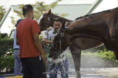 Kentucky Derby 2012 contender Union Rags gets a bath at Palm Meadows training center :)
