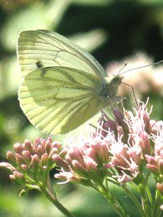 ~Green Butterfly~
