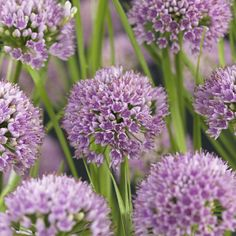 Allium 'Millenium' Allium, Frisk, Flower Beds, Garden Planning, Flowers, Plants, Cottage, Cover, Sun
