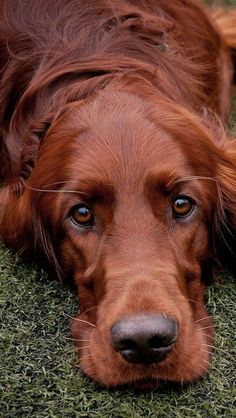 Beautiful Irish Setter - Tap the pin for the most adorable pawtastic fur baby ap. - Baby Products , Beautiful Irish Setter - Tap the pin for the most adorable pawtastic fur baby ap. Beautiful Irish Setter - Tap the pin for the most adorable pawtast. Beautiful Dogs, Animals Beautiful, Cute Animals, Animals Dog, Cute Puppies, Cute Dogs, Dogs And Puppies, Doggies, Dachshund Puppies