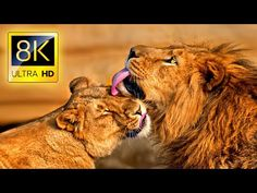 8K Wild African Animals Safari in 8K ULTRA HD / National Park with Nature Sounds - YouTube 8k Ultra Hd, Trust And Loyalty, Nature Sounds, Sustainable Tourism, African Animals, Safari, National Parks, Wildlife, Join