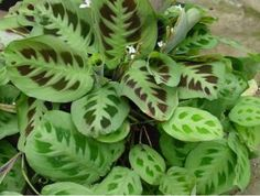 Low to no light plant - Prayer Plant. This tropical plant actually does better in cooler environments, so it's great for indoor growing. Plus, it can't even handle direct sunlight or it will shrivel up! Indoor Garden, Garden Pots, Indoor Outdoor, Easter Plants, Prayer Plant, Low Light Plants, Plant Cuttings, Calathea Plant, Terrarium Plants