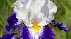 Iris- beautiful colour contrast