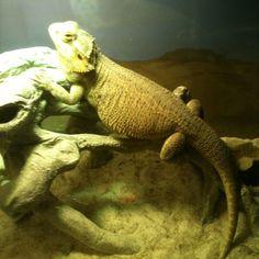 Barbosa the Bearded Dragon