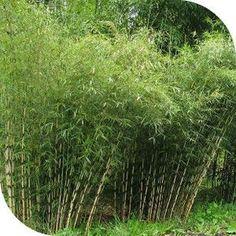 Conseil pour la création d'une haie de bambous. Sélection d'espèces.
