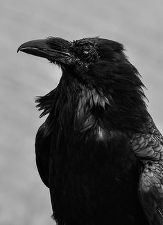 Pursuance by Rae Ann M Garrett Raven And Wolf, Quoth The Raven, Raven Bird, Raven Photography, Animal Photography, Beautiful Creatures, Animals Beautiful, Raven Pictures, Norse Runes