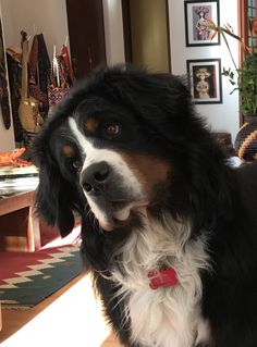 Bernese Mountain dog Boxer Dogs Facts, Dog Facts, Bermese Mountain Dog, Mountain Dogs, Big Dogs, I Love Dogs, Dogs And Puppies, Cute Dogs Breeds, Dog Breeds