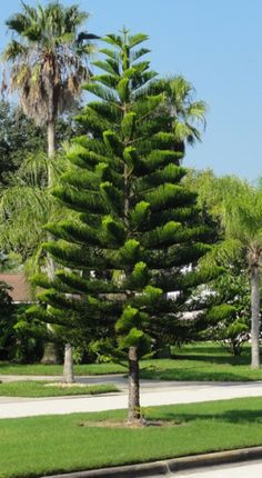 Norfolk Island Pine Norfolk Island Pine growing among the palm trees in Florida Florida Landscaping, Florida Gardening, Tropical Landscaping, Tropical Garden, Backyard Landscaping, Palm Trees Landscaping, Pine Garden, Garden Trees, Trees To Plant