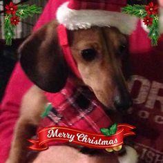 Christmas Dachshund, Weiner Dogs, Dachshunds, Mom, Animals, Dachshund, Animales, Animaux, Weenie Dogs