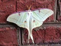 Slikovni rezultat za purple moth