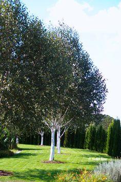 Betula Jacquemontii Betula Brzoza Garden Trees