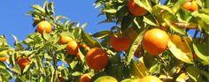 La curiosa historia del Curaçao... o cómo convertir unas naranjas inservibles en un licor de moda.