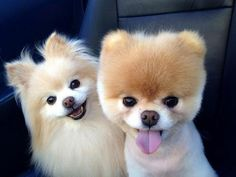 Sweet Pomeranian dogs, Boo and Buddy! Cute Puppies, Cute Dogs, Dogs And Puppies, Toy Dogs, Doggies, Silly Dogs, Animals And Pets, Baby Animals, Cute Animals