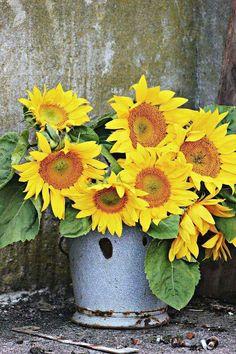 Min plats i solen Happy Flowers, Fresh Flowers, Yellow Flowers, Beautiful Flowers, Sun Flowers, Sunflowers And Daisies, Growing Sunflowers, Sunflower Garden, Mellow Yellow