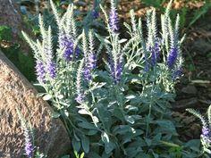 Przetacznik kłosowy - Byliny - Baza roślin - rosliny.urzadzamy.pl Plants, Garden, Garten, Planters, Gardening, Outdoor, Home Landscaping, Plant, Tuin
