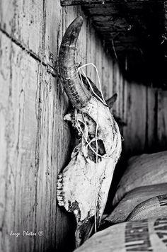 "Huesos de toro. ""Cachamenta"" guanacaste CR"