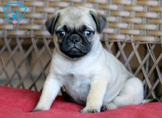 This is an outgoing Pug puppy who loves to play! She not only has an adorable face but also has an amazing personality. This puppy is very social and will Baby Pugs, Baby Puppies, Cute Puppies, Cute Dogs, Corgi Puppies, Pug Puppies For Sale, Black Lab Puppies, English Bulldog Puppies, English Bulldogs