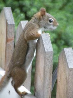 The very best recognized category of tree squirrels is Sciurus, that includes the Eastern grey squirrel of The United States and Canada Baby Animals, Funny Animals, Cute Animals, Cute Squirrel, Little Critter, All Gods Creatures, Rodents, Country Primitive, Chipmunks