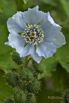 Blue Poppy (Meconopsis napaulensis)