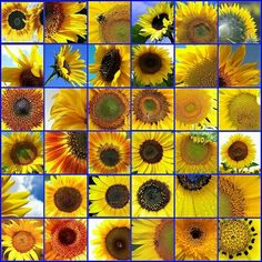 Different types of Sunflowers Types Of Sunflowers, Sunflowers And Daisies, Growing Sunflowers, Planting Sunflowers, Sunflower Garden, Yellow Sunflower, Yellow Flowers, Happy Flowers, Wild Flowers