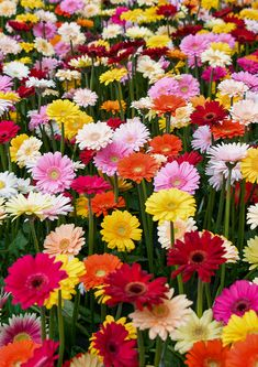 Learn how to grow and care for gerbera daisies with our expert tips. The plants bloom in late spring and early summer and come in a number of gorgeous colors. Yellow Flowers, Colorful Flowers, Beautiful Flowers, Exotic Flowers, Fresh Flowers, Pastel Colors, Wild Flowers, Types Of Daisies, Gloriosa Daisy