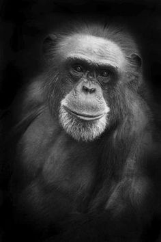"""The Boston Globe asks: """"Should chimpanzees have legal rights? The 'animal personhood' movement believes dolphins, great apes, and elephants deserve to be able to sue — and now it has a plaintiff."""" via Nonhuman Rights Project. http://animalcruelty-notok.tumblr.com/post/55639668582/the-boston-globe-asks-should-chimpanzees-have"""