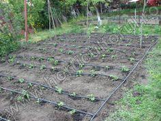 Irigarea legumelor prin picurare_la tomate Solar, Plants, Gardening, Travel, Urban, Diy, Viajes, Bricolage, Garten