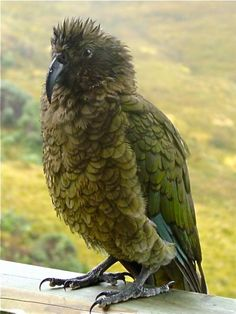 Bedraggled Kea by Chris Graham - Vote for this photo at www.aatravel.co.nz/101/gallery