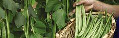 Runner Bean Harvestin