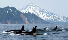 They swim between Canada and the Usa in the Juan du fuca straight... their feeding grounds, tours are available in the area