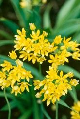 Allium moly is a great bulb for hot sunny sites. It heads of tiny yellow blooms will light up summer gardens like a shower of golden sparks! Easy To Grow Bulbs, Plants Under Trees, Spring Flowering Bulbs, Planting Bulbs, Bulb Flowers, Allium, Flower Seeds, Summer Garden, Garden Supplies