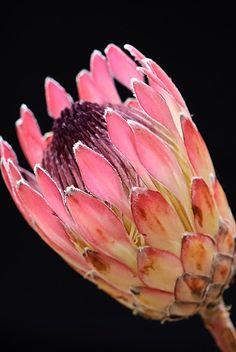 simply-beautiful-world: stunning protea Protea Art, Protea Flower, Unusual Flowers, Beautiful Flowers, Simply Beautiful, Rare Flowers, Tropical Flowers, Spring Flowers, Australian Native Flowers