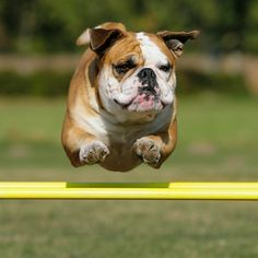 flying #bulldog !!! grow a living memory tree from your beloved pet's cremated remains! www.TheLivingUrn.com