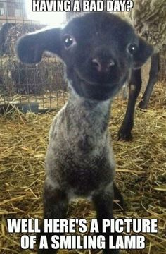 Save up to 50% on all pet products at Petmountain.com!!! #Petm Lamb meme I funny animal meme I cute I cheap pet products