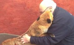 This Rescued Fox was mistaken for a dog by it's rescuers, and now it's far too tame to be released back in the wild. This VIDEO will heal your heart (if only for the almost 2-minute length of the video). , If you're like me, and you see a million horrific things in trying to make a difference in the lives of the precious animals (and humans) on this planet---WATCH THIS.. I promise, it's worth it. ♥