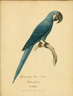 Monographia Psittacorum by  Wagler, Johann Georg, 1800-1832 - Biodiversity Heritage Library