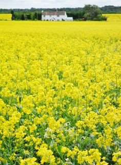 Bright yellow Oilseed field, Hobs Hole Lane, Aldridge, Walsall, England (All Original Photography by vwcampervan-aldridge.tumblr.com) — FUCKITANDMOVETOBRITAIN ""