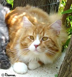 [male maine coon cat]