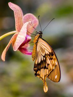 **Swallowtail Butterfly