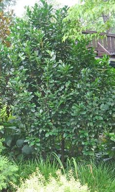 Cherry laurel, Prunus laurocerasus, evergreen White blooms appear mid-spring Size? Take your pick.      The species (photo right) grows fast (up to 2′ per year) to 20 feet tall, if left unpruned.     'Otto Luyken' grows to 3-4 feet tall and 6-8 feet wide. It's shown in the top photo.     'Schipkaensis' or 'Schip' (photo below) grows to 4-5 feet tall and 5-8 feet wide.  Sources say they need good drainage, but doesn't almost every plant? Hardy to Zone 6. Highly toxic.
